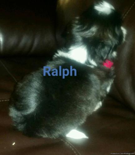Beautiful Black White Shih Tzu Puppies In Desloge Missouri