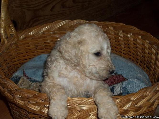 Beautiful Creme and Black F 1-B Labradoodle puppies!