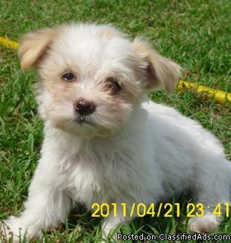 Beautiful Havanese Puppies... AKC - Price: $600