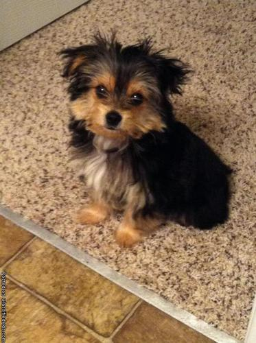 Beautiful Maltese Yorkie Mix For Sale Price 50000 In Smyrna