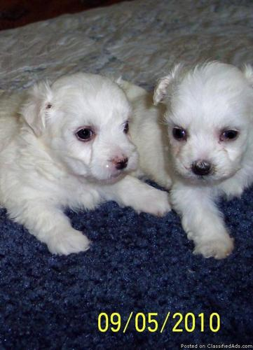 Beautiful Purebred Akc Puppies For Sale Afordable Price
