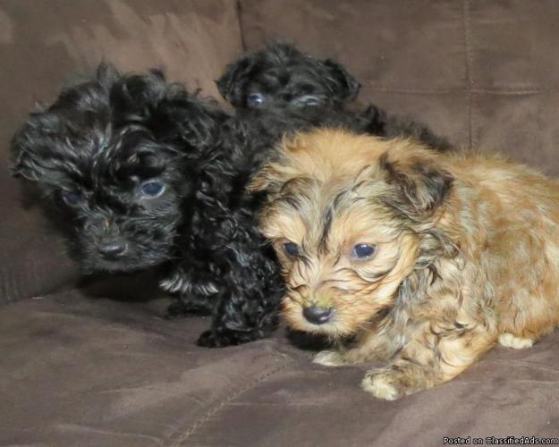 Beautiful Yorkie Poo Puppies