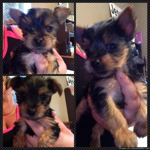 Beautiful Yorkie Pups