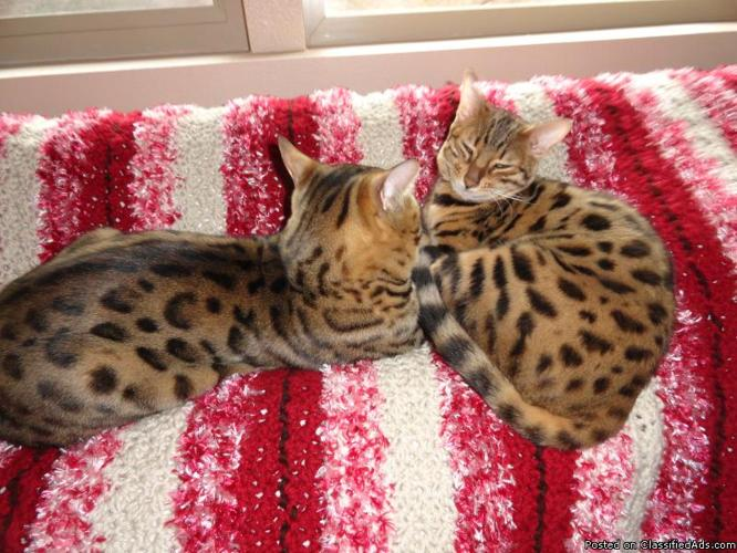BENGAL KITTENS FOR SALE in Wiconisco, Pennsylvania