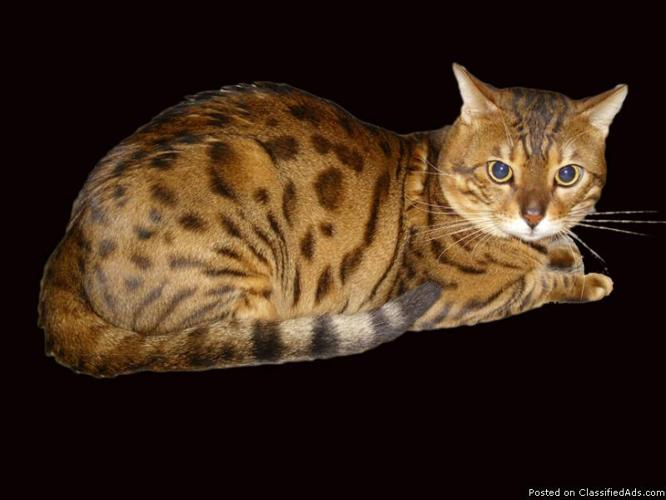 Bengal Kittens for Sale - Price: 600 00 in Saint Augustine