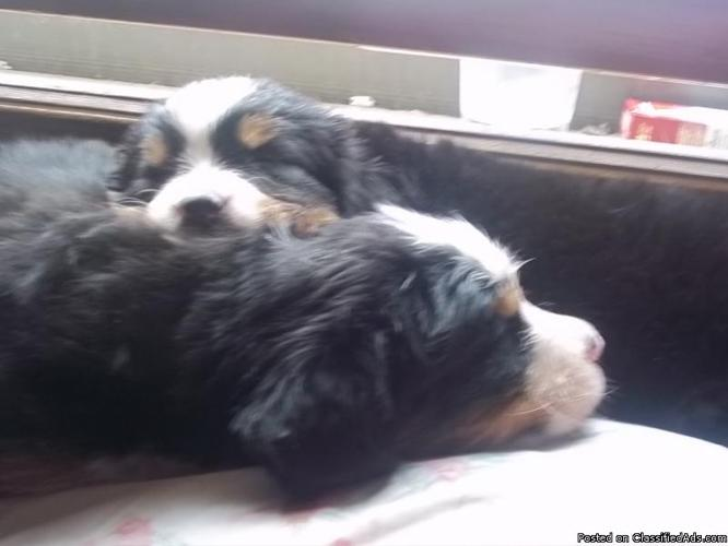 Bernese Mountain Dog Puppies Price 300 500 In Lawrence