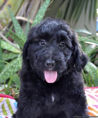 Bernese Mountain Dogstandard Poodle Hybrid Puppies In Largo