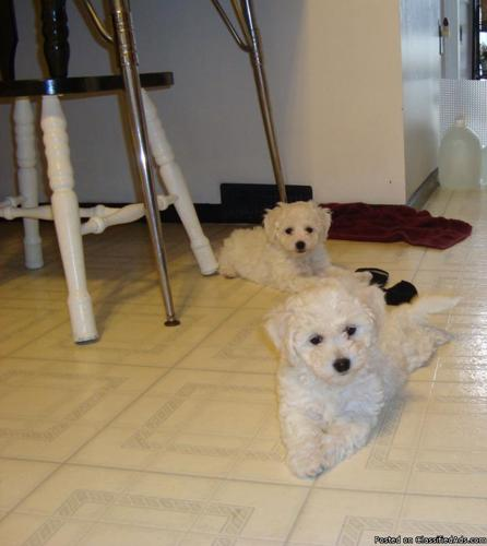 Bichon Frise Puppies - Price: 550 00 in Peachland, North