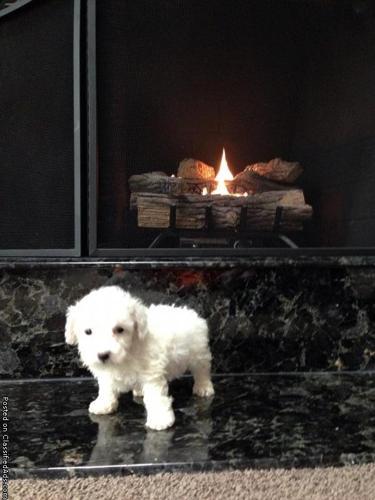 Bichon frise puppy in Chesterfield, Michigan | CannonAds com