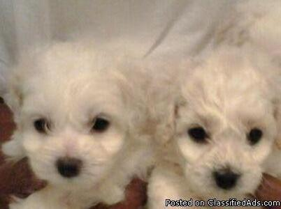 Bichon Pups for Sale.