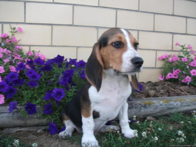 Bingo AKC Beagle