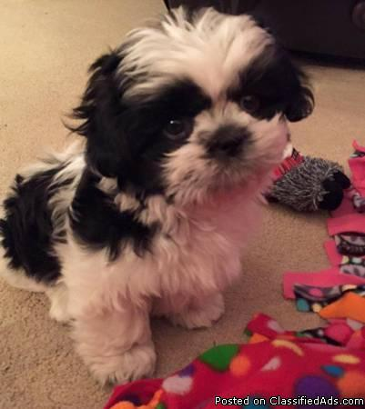 Black and White shih tzu puppy with full AKC, microchip!!!!!