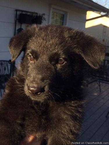 Black German Shepherd Puppies for sale in Woodbridge, Virginia