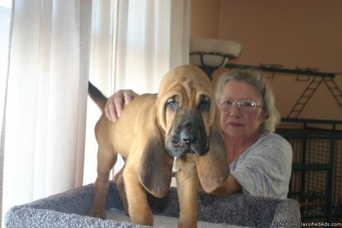 Bloodhound puppies in Fond Du Lac, Wisconsin | CannonAds com