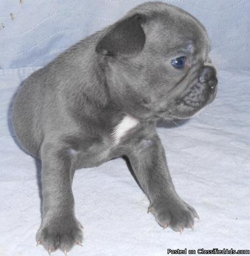 Blue French Bulldog Puppies For Sale  in Raleigh, North Carolina