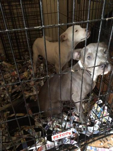Blue nose pitbull puppies in Yakima, Washington   CannonAds com