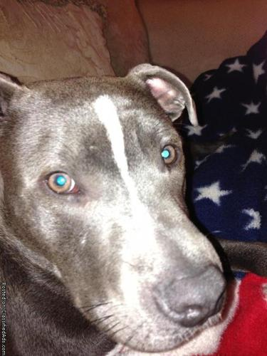 Blue Pit Bull for sale