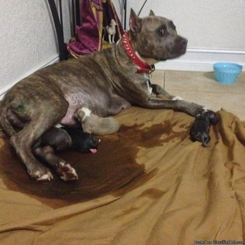 Blue/Red-Nose-Pitbull-Puppies-For-Sale in Fort Lauderdale