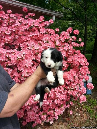 Border Collie pups for sale in Dickson, Tennessee | CannonAds com
