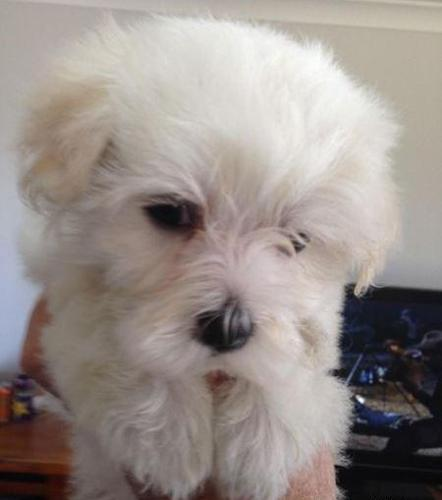bosoko M/F Maltese Puppies
