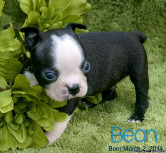 Boston Terrier Puppy in Baxterville, Mississippi | CannonAds com