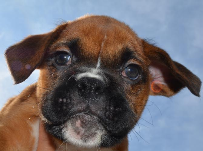 Boxer Puppy Male