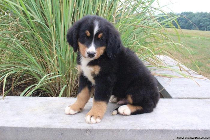 Brett AKC Bernese Mountain Dog