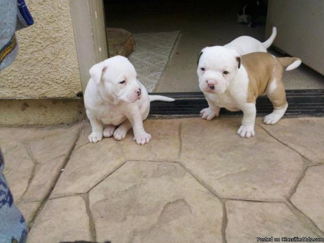 bulldog/pitbull puppies for sale - Price: 160.00 in Marysville ...
