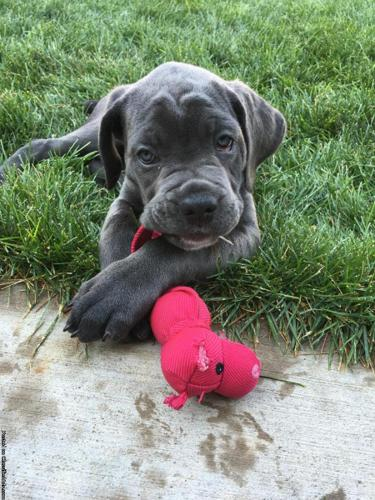 Cane corso puppies champion bloodlines