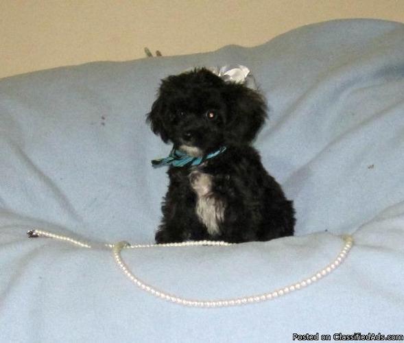 Cavapoo Puppies in Jacksonville, Florida   CannonAds com