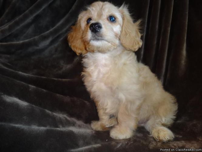 Cavapoo puppies, Adorable in Weston, Wisconsin | CannonAds com