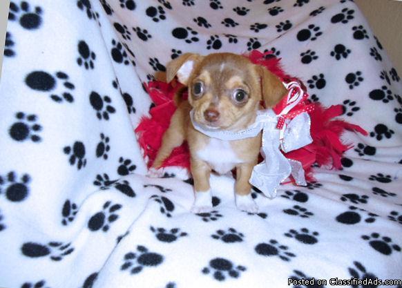 Cherish, sweet gentle baby girl chihuahua female.