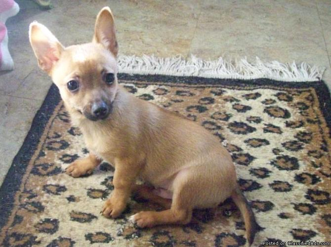 Chihuahua Male Puppies Ckc For Sale In Louisville Kentucky