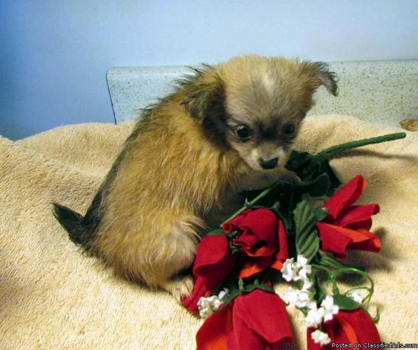 Chihuahua puppies - Price: $300.00