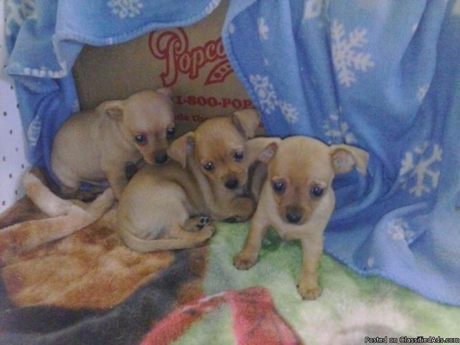 Chihuahua puppies ckc 6weeks
