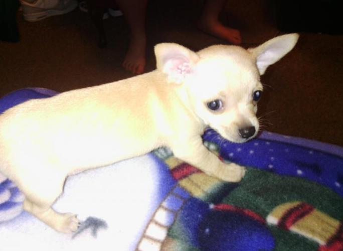 Chihuahua Puppies For Sale In Springfield Ohio Cannonadscom