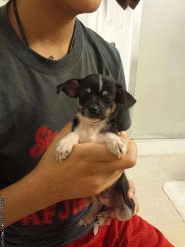 Chihuahua Puppies (NWSA)