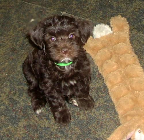 CHOCOLATE MORKIE MALE PUPPY