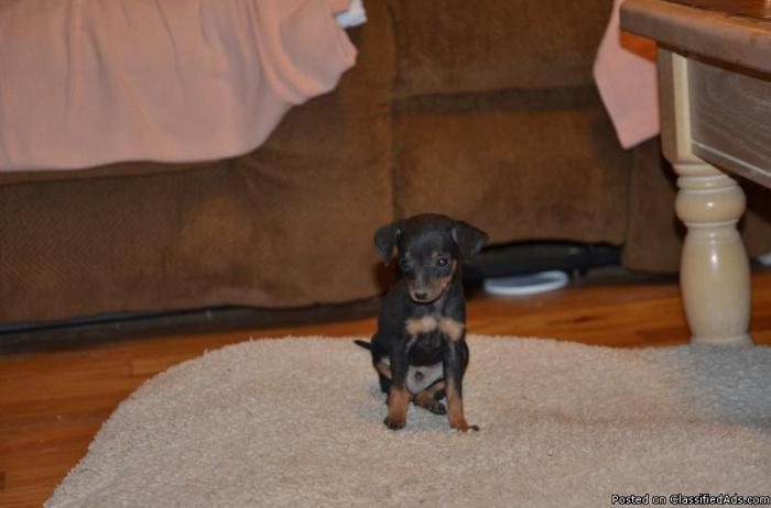 CKC DACHSHUND PUPPIES