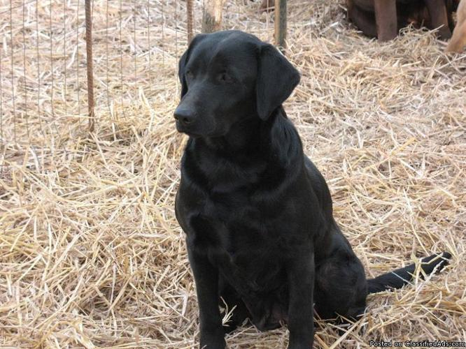CKC Hunting Bloodline Lab Puppies, Upcoming Litter!!!
