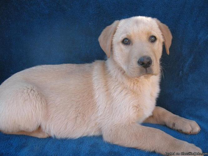 CKC Hunting Bloodline Pure Breed Yellow Male Lab Puppy, Ready Now!!!