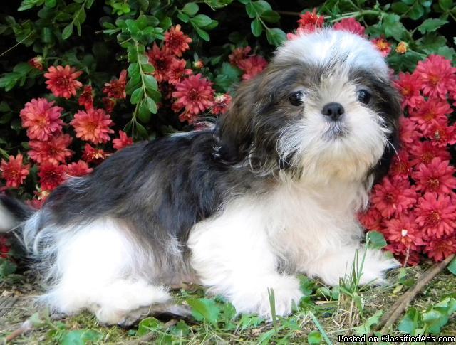 CKC Male Imperial Shih Tzu Puppy - Price: 300 00 in Park