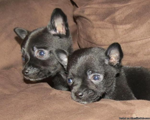 CKC Registered Chihuahua Puppies (Teacup sized)