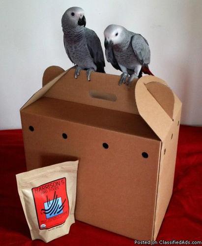 Congo Grey Parrots