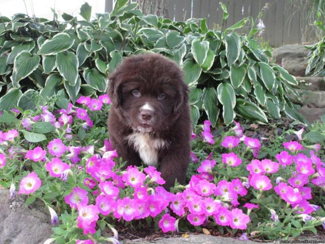 Conner AKC Newfoundland