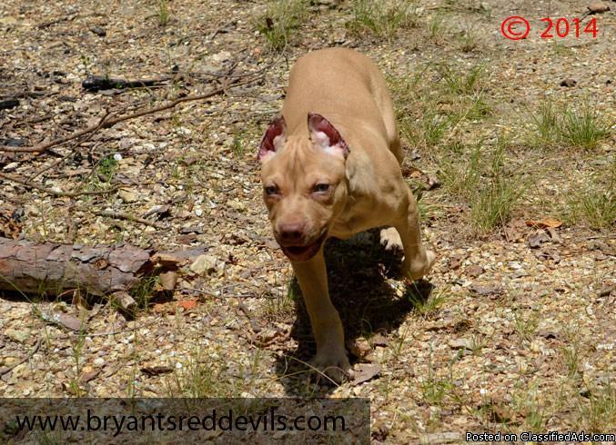 Cream Buckskin Male Red Nose Pit Bull Puppy ADBA UKC Registered