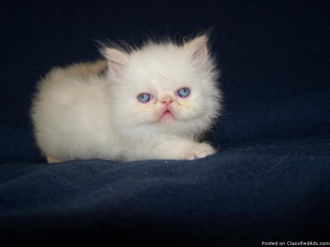White teacup persian kittens for sale uk