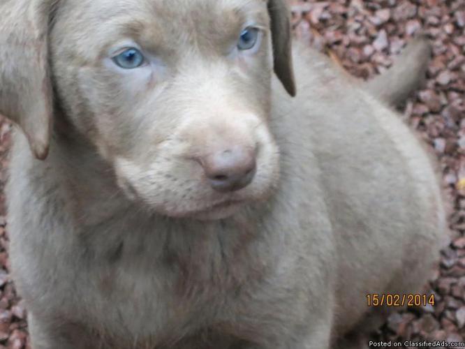 Cute AKC Reg Labrador Pups