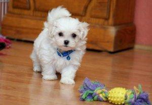 Cute miniature Teacup Maltese Puppies For Adoption in Saint