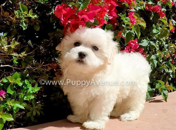 Cutest MalShi Male // Teddy Bear Hybrid Puppy for Sale